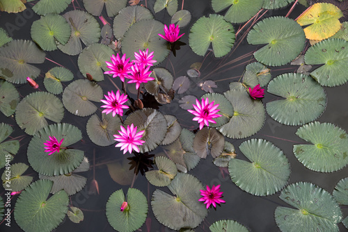 Wall Murals Water lilies Red lily pond