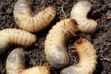 Larvae Of Beetles Are Pests Of...