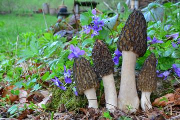 Four Black Morel mushrooms growing among spring Violets