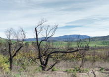 Trees Damaged By Fire. Blacken...