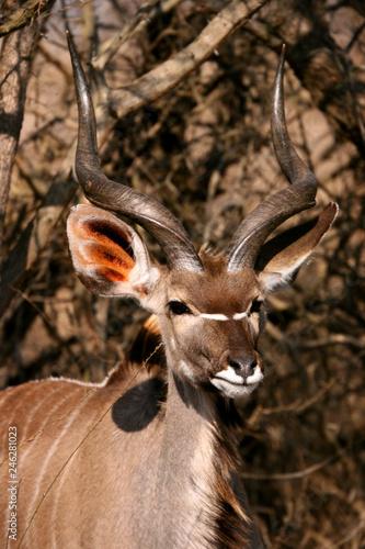 Poster Cerf Greater Kudu antelope displaying horns