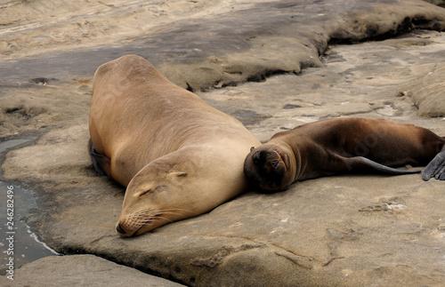 Photo  Sea Lions Sun Bathing
