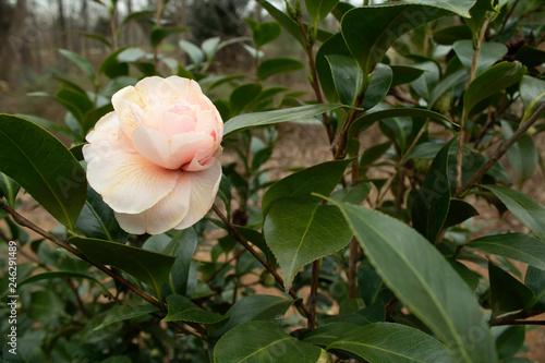 Fotografie, Obraz  Camelia Japonica in the garden