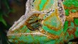 The veiled chameleon cone-head Chamaeleo calyptratus