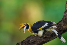 Great Hornbill, Great Indian H...