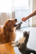 Golden retriever and cat want food