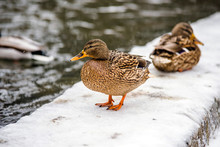 Wild Duck Stands In The Snow On The River Bank