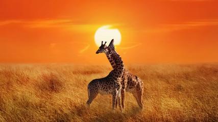 Giraffes in the Serengeti N...