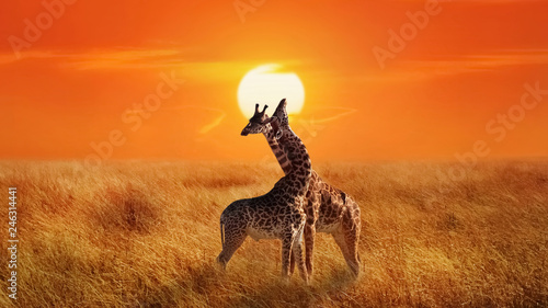 Cadres-photo bureau Girafe Giraffes in the Serengeti National Park. Africa. Tanzania. Sunset background.