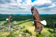 Zwei Weißkopfseeadler Fliegen...