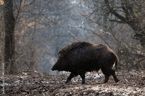 Stampa su Tela wild boar in forest