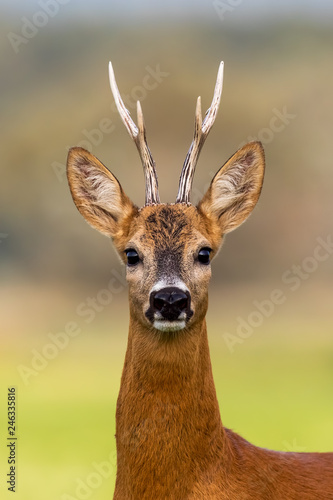 Portrait of a roe deer, capreolus capreolus, buck in summer with clear blurred background. Detail of rebuck head. Clouse-up of wild animal in natural environment.