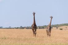 Two Masai Giraffe Walking In Long Grass