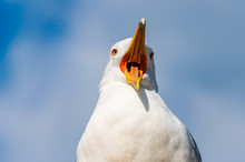 Close-up Portrait Of White Seagull With Wide Open Yellow Beak. The Larus Argentatus Or The European Herring Gull, Seagull Is A Large Gull Up To 65 Cm Long. One Of Best Known Of All Gulls Of Europe