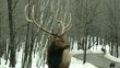 A large elk stares at camera then looks away