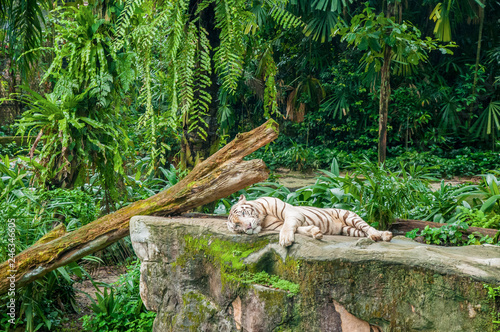 Fotografie, Obraz  White tiger in the jungle
