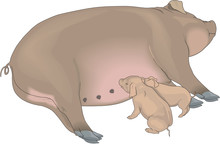 Sow And Piglets Vector Illustr...