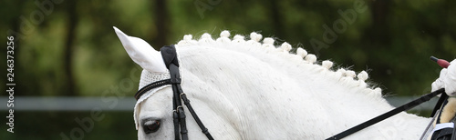 Fotografía  Horse Dressage White in the form of a head under the rider, following the vertical line, the neckline with braided mane was photographed