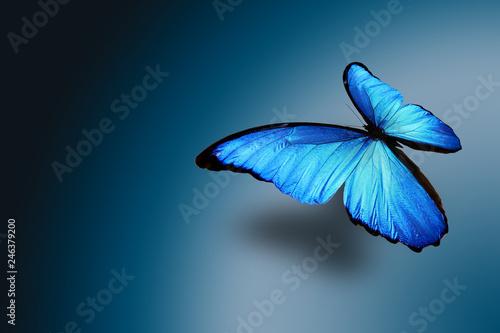 Fototapeta tropical blue butterfly on a blue gradient background