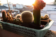 Small Cactus In Plastic Basket With Sunlight At Morning Time