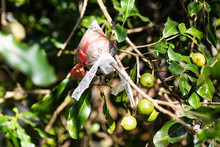 Grafting On Macadamia Nut Tree...