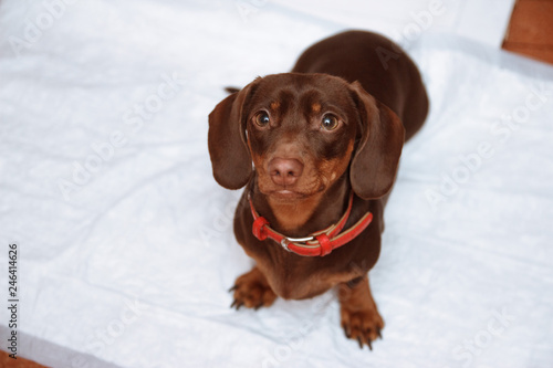 Photo Puppy on absorbent litter