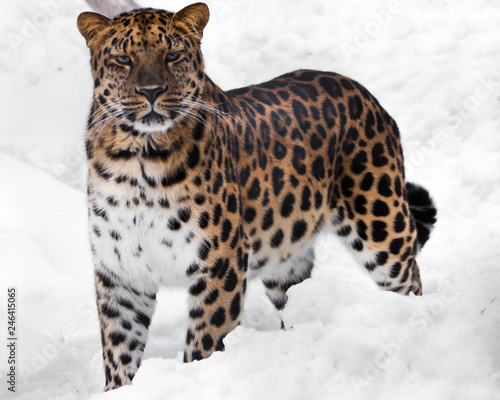 Deurstickers Luipaard The look of a big cat. Red-headed Far Eastern leopard is a powerful predatory beast against the white snow.