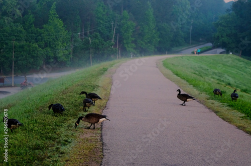 A gaggle of Canada geese waddle across the greenway on a slightly foggy morning at Shelley Lake Park in Raleigh North Carolina Fototapeta