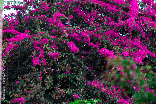 Canvas Print Bougainvillaea