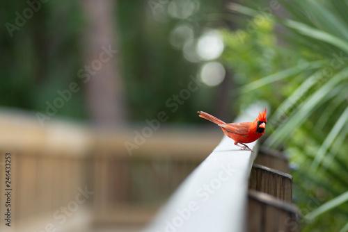 Photo  Red Northern Cardinal Bird Staring into Camera