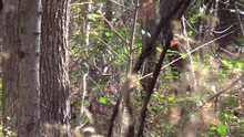 Large Whitetail Buck Deer Hiding In Brush Runs Away
