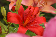 Red Pink Orange Lily Asiatic