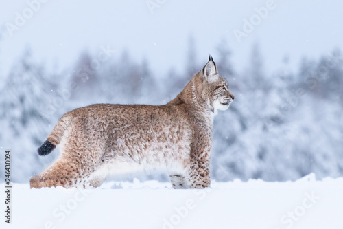Foto op Plexiglas Lynx Young Eurasian lynx on snow. Amazing animal, walking freely on snow covered meadow on cold day. Beautiful natural shot in original and natural location. Cute cub yet dangerous and endangered predator.