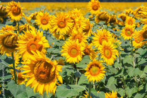 Fototapety, obrazy: field full of sunflowers at sunny day
