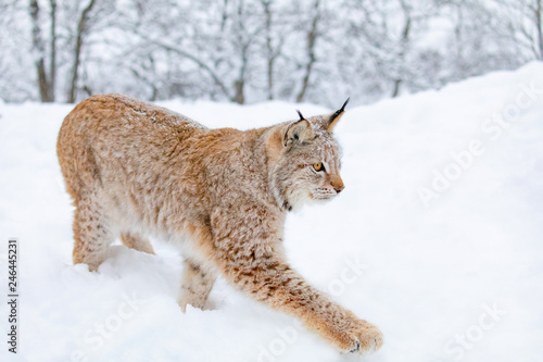 Wall Murals Lynx Close-up of lynx cat walking in the cold winter forest