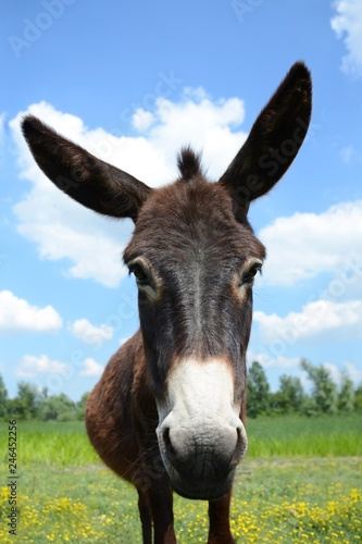 Carta da parati lovely donkey brown fur on a green meadow under blue sky with a pair of white cl