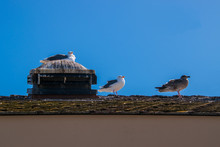 Three California Gulls On A Roof