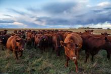 Herd Of Cows On A Farm Field D...