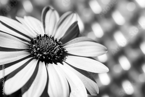 Obraz daisies at sunset in black and white - fototapety do salonu