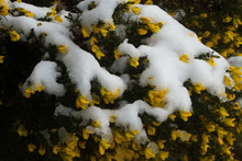 Snow Covered Yellow Gorse Flowers With Green Needles