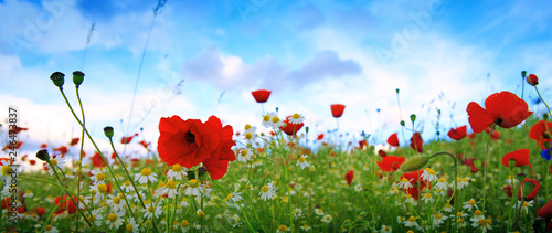 Beautiful poppy and daisies field . Summer background.