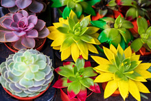 Young (stone Roses), The Amazing Beauty Of Succulent,