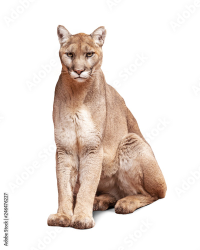 Tuinposter Puma Mountain Lion Sitting Isolated on White