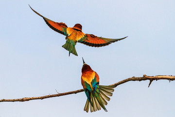 bee-eaters flying in the cloudy sky
