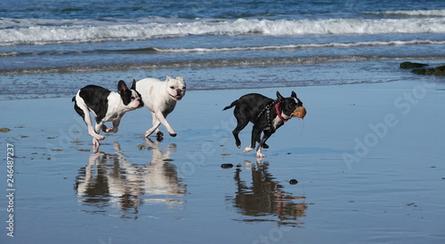 Three small dogs chase each other on the beach