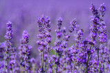 Fototapeta Lavender - Lavande en fleurs sur le champ gros plan.