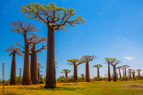 Valokuva Beautiful Baobab trees at sunset at the avenue of the baobabs in Madagascar