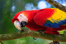 The Portrait Of Scarlet Macaw ...