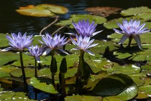 Cape Blue Water Lilies (Nympha...