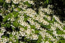 White Flowering Shrub, Japanese Snowball (Viburnum Plicatum), England, Great Britain
